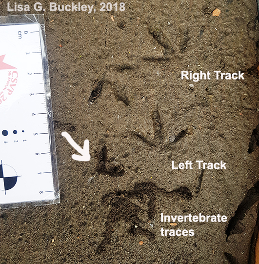 Bird track casting 6 - label trackway
