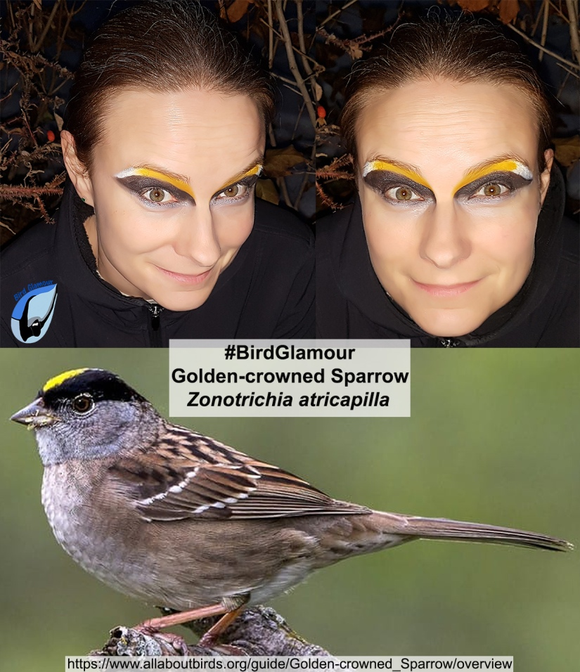 Golden-crowned Sparrow Bird Glamour