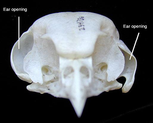 Boreal Owl Skull