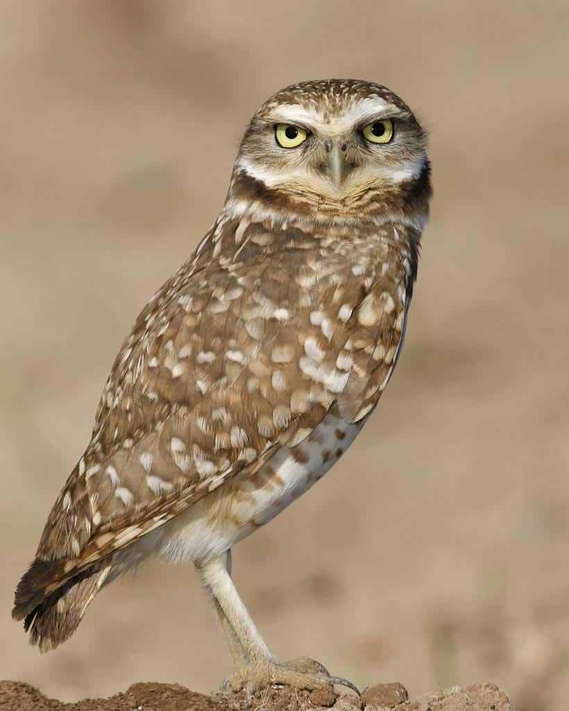 Burrowing_Owl_s52-12-055_l