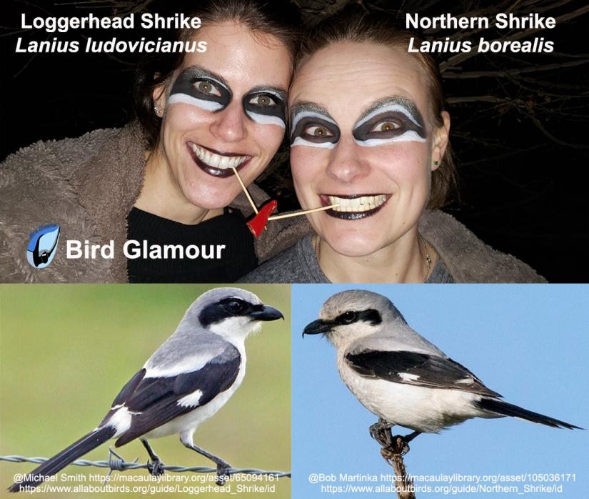 Shrikes Bird Glamour2