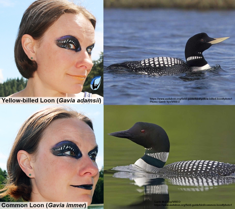 Yellow-billed Loon Bird Glamour 1