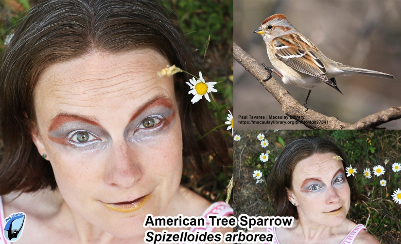 American Tree Sparrow Bird Glamour