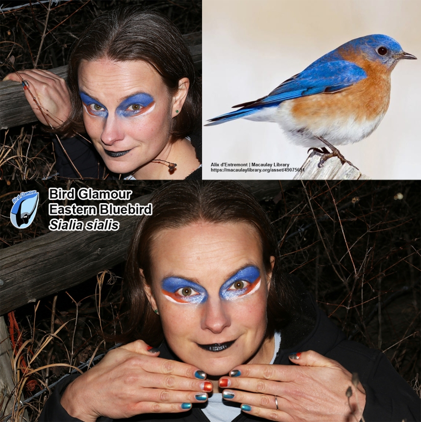 Eastern Bluebird Bird Glamour